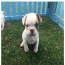 ลูกสุนัขเฟร้นบูด้อกเพศผู้ มีใบเพ็ดเต็มใบ ราคา13000 ติดต่อ 0945428805 line: koon_nu_film