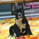 เฟรนซ์บลูด็อก French bulldog สีดำเพศเมีย สวยๆค่ะ