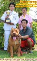 ขายลูกสุนัขพันธุ์พิทบูลไซส์ใหญ่