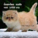 เปิดจองลูกแมวเปอร์เซียหน้าบี้