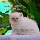 เปิดจองลูกแมวเปอร์เซียหน้าบี้ สีหิมาลายัน ตาฟ้า