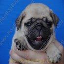 ลูกสุนัขพันธุ์ ปั๊ก PUG เพศผู้ ริงค์ล้นๆ ลูกไทยแชมป์ จาก BogBogBog Kennel