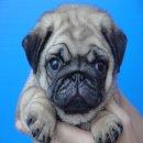 ชุดใหม่พร้อมแล้ว ลูกสุนัขพันธุ์ ปั๊ก PUG เพศเมีย ลูกไทยแชมป์ เกรดคุณภาพ จาก BogBogBog Kennel