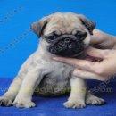 ลูกสุนัขพันธุ์ ปั๊ก PUG เพศเมีย ริงค์ล้นๆ ลูกไทยแชมป์ จาก BogBogBog Kennel