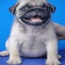 ลูกสุนัขปั๊ก ลูกแชมป์ ชุดใหม่ จาก BogBogBog Kennel