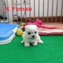 เปิดจอง ลูกสุนัข มอลทีส (maltese) ใบเพ็ดแท้เต็มใบ ราคาพิเศษ *** ตัวสุดท้าย ***