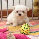 ลูกสุนัข มอลทีส (maltese) เพศผู้และเมีย ใบเพ็ดแท้เต็มใบ ราคาพิเศษสุด ๆ รับเองลดอีก 1 พัน