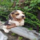 น้อง Titan เพศผู้ จากบ้าน smile beagle (15000)