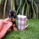 จำหน่าย Yorkshire Terrier size ทอย และ ทีคัพ สายพันธุ์แท้ ( www.Tcup4u.com )