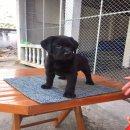 ขายหมาลาบาดอ สายเลือดคุณภาพ โครงสร้างสวย สุขภาพแข็งแรง เฟส: GoldenRetriverThailanda