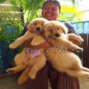 ลูกสุนัขโกลเด้นสายเลือดอเมริกันแชมป์ลูกไทยแลนด์แชมป์(ปอกคอชมพู)