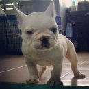 French Bulldog Male For Sale