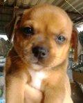น้องหมาชิวาวาผสมมินิเจอร์เพศเมีย 2 ตัวโทร 085-2999829 จ.นครปฐม
