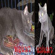 ลูกแมวสีสวาด(โคราช) อายุประมาณ 2เดือนครึ่ง ตัวเมียทั้ง 2 ตัว