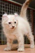 ขายแมวหูพลิก  พันธุ์อเมิรกัน เคลอ พันธุ์แท้ (American Curl)  วัคซีนแล้ว เป็นแม