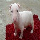ลูกสุนัข บูเทอเรีย เพศผู้ โครงสร้างหน้าสวย