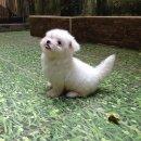 ลูกสุนัข มอลทีส (maltese) ใบเพ็ดแท้เต็มใบ เพศเมีย ตัวสุดท้าย สวยเกินราคา!!!