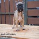 French Bulldog เพศเมีย สีฟอน