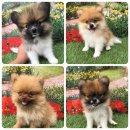 ขายเหมาลูกสุนัขปอม4ตัวผู้1ตัวเมีย3ตัวราคา16000บาทพร้อมบริการส่งสนใจติดต่อได้ที่0625413275