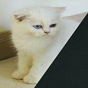 ขาย แมว Scottish fold เพศเมีย ตาสองสี สายพันธุ์แท้ อายุ 5 เดือน