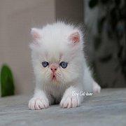 ลูกแมว Exotic sh ขนสั้น เพศชาย สีขาว ตาสีฟ้า