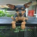 @@ Miniature สุนัขบ้าน อายุ 2 เดือน 2 สัปดาห์ @@