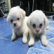 ขายลูกสุนัข ชิสุ+แจ๊กฯ สีขาว 1700 บาท!!!
