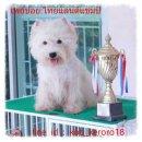 ลูกเวสตี้พ่อเป็นแชมป์ไทยแลนด์ ,West Highland whtte Terrier ,Westie