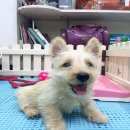 ขายลูกสุนัขสก็อตทิช เทอร์เรีย (น้องยำยำ )