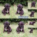 Poodle toy  สีดำ วัยกำลังน่ารัก  สุขภาพแข็งแรง  เพศ เมีย โทร 0875159665