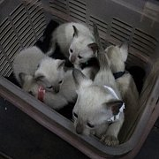 ลูกแมววิเชียรมาศ อายุประมาณ 2 เดือน กินอาหารอ่อนได้แล้วครับ มีรูปพ่อแม่แมวให้พิจารณาครับ