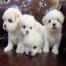 """ขายลูกสุนัข Maltese ลูกพ่อพันธุ์""""คอกจงรักษ์ฟาร์ม"""""""