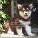 Male Alaskan Malamuth Puppy For Sale