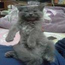 [ขาย]ลูกแมวเปอร์เซียเกรดPETเกรดเลี้ยงเล่น สีเทา เพศผู้(เปอร์เซียสีสวาทเป็นแมวมงคล)ด่วนT.081-482-6961