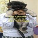 ลูกสุนัขอัลเซเชี่ยนขนยาวโอเวอร์ไซส์ เพศเมีย1ตัว