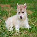 ลูกสุนัขไซบีเรียน วูลลีโค้ด เพศผู้ สีไรเรด