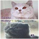 เตรียมพบกับความน่ารักของน้องแมวจากลพบุรีฟาร์ม น้องแมว British Shorthair + Scottish Fold