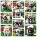 ขายเหมาลูกสุนัขปอม4ตัวผู้2เมีย2ราคา20000บาทพร้อมบริการส่งสนใจติดต่อได้ที่0625413275