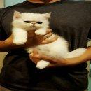 ลูกแมว exotic ลูกcfa น่ารักมากคับ