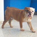 ขายสุนัขบลูด็อก Bulldog เพศผู้ อายุ. 10 เดือน