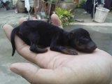 ลูกสุนัขมินิเจอร์ พินเชอร์ 2,000.-
