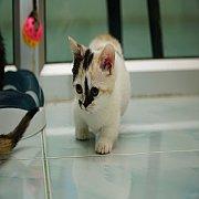 เปิดจอง Munchkin cat แมวขาสั้้นเพศเมีย
