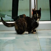 Munchkin cat แมวขาสั้้นเพศเมีย