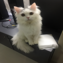 ขายแมวเปอร์เซีย/อเมริกันช๊อตแฮร์ แก๊งโมฮ๊อค