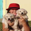 ขายลูกสุนัข โกลเด้นรีทรีฟเวอร์ สีขาว สไตล์อังกฤษ White English Golden Retriever Pups