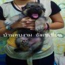 ลูกสุนัขอัลเซเชี่ยนขนยาวโอเวอร์ไซส์