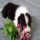 แบ่งจำหน่ายลูกสุนัขสายพันธุ์ Australian Shepherdที่ฉลาดและหายาก