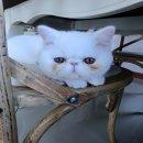 ขายแมว Exotic นำเข้า มีใบนำเข้า ใบ CFA