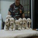 ฟาร์มโกลเด้น รีทรีฟเวอร์ ขายลูกหมาโกลเด้นเกิดจพ่อแม่นำเข้าจาก อเมริกา สุขภาพแข็งแรง รับประกันสุขภาพ