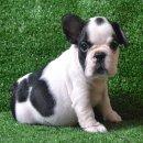 ++ เฟรนซ์บลูด็อก French bulldog เพศเมีย สีขาว-ดำ หน้าใหญ่ๆค่ะ +++